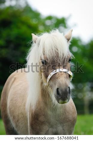 Miniature pony  - stock photo