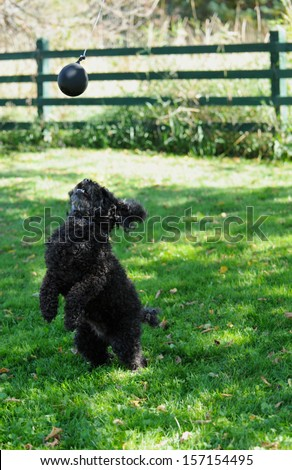 Miniature poodle playing a game of catch the balloon in his yard in the fall. - stock photo