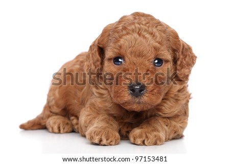 Miniature Poodle Puppy on a white background - stock photo