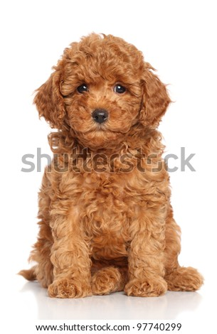 Miniature Poodle Puppy sits on a white background - stock photo