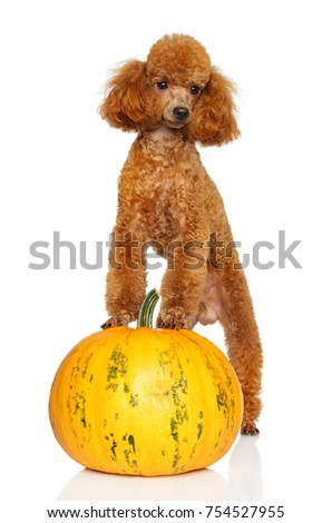 Miniature poodle with pumpkin on white background
