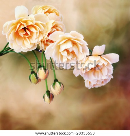 Miniature roses on watercolor background - stock photo