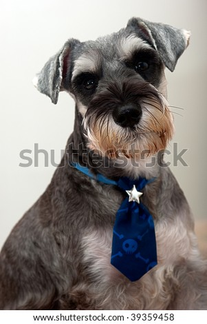 Miniature Schnauzer - stock photo
