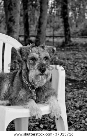 Miniature schnauzer dog laying on chair outdoors in rural setting - stock photo