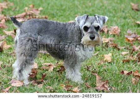 Miniature Schnauzer dog looking at camera. - stock photo