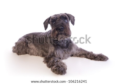 Miniature Schnauzer dog lying down isolated on white background - stock photo