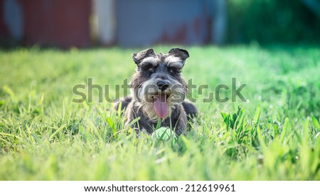 miniature schnauzer dog outdoor portrait - stock photo