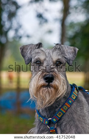Miniature schnauzer dog outdoors in a rural farm setting. - stock photo