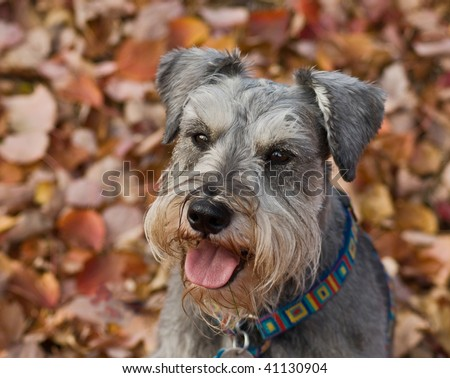 Miniature schnauzer dog sitting down in a pile of fall leaves