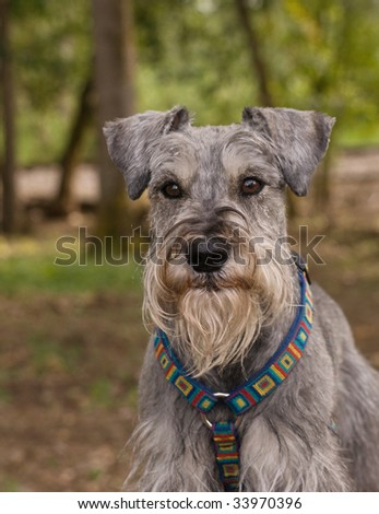 Miniature schnauzer dog sitting in front of wooded green background outdoors - stock photo