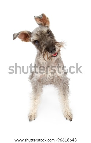 Miniature Schnauzer dog standing against a white backdrop tilting head - stock photo