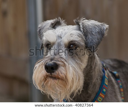 Miniature schnauzer dog standing in front of a neutral background. - stock photo