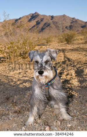 Miniature schnauzer dog standing in the Mojave desert. Mountains and blue skies in background. - stock photo