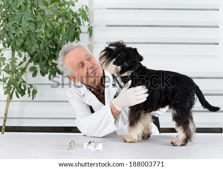 Miniature schnauzer has tooth examination in senior veterinarian infirmary - stock photo