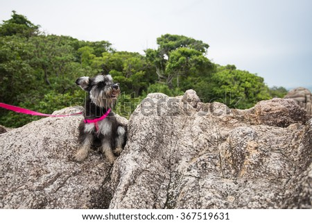 Miniature schnauzer hiking over the rock