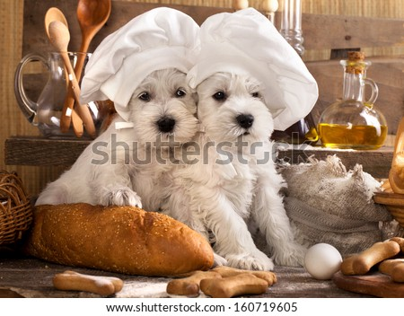 Miniature Schnauzer  in chef's hat - stock photo