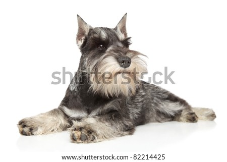Miniature schnauzer lying on white background - stock photo