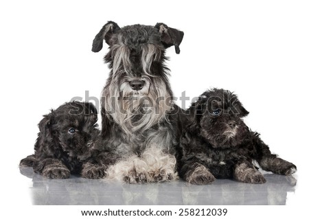 Miniature schnauzer mother with little puppies - stock photo