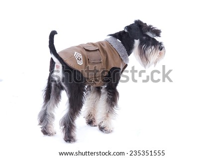 Miniature schnauzer posing in winter jacket on white background  - stock photo