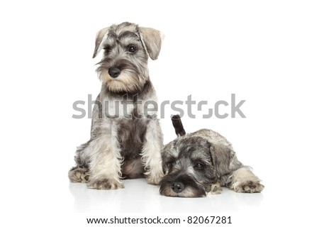Miniature schnauzer puppies posing on a white background - stock photo