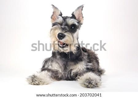 Miniature Schnauzer Puppy Dog on White Background - stock photo