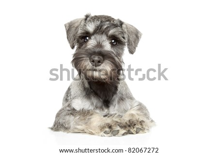 Miniature schnauzer puppy on white background - stock photo