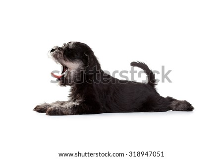 Miniature Schnauzer Puppy over White Background - stock photo