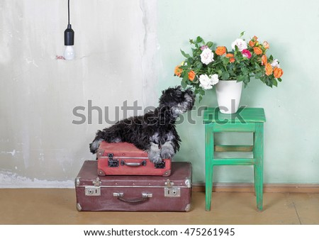 Miniature Schnauzer puppy sitting on suitcases and  smelling the flowers