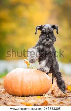 Miniature schnauzer puppy with a pumpkin in autumn - stock photo