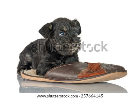 Miniature schnauzer puppy with a slipper - stock photo