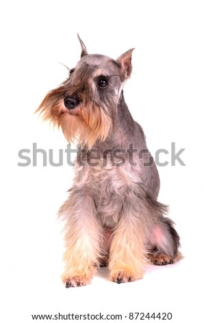 Miniature schnauzer sitting, isolated on white background