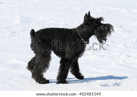 Miniature schnauzer. The dog plays on snow