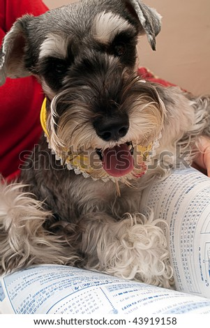 Miniature Schnauzer try to reading book. - stock photo