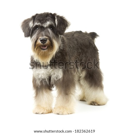 Miniature Schnauzer with Wiry Coat