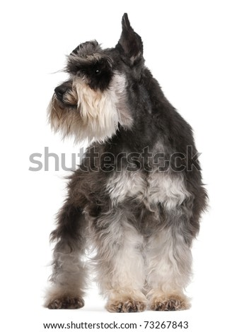 Miniature Schnauzer, 6 years old, standing in front of white background - stock photo