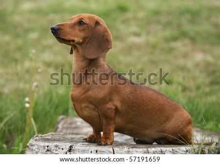 Miniature Shorthair Dachshund - stock photo