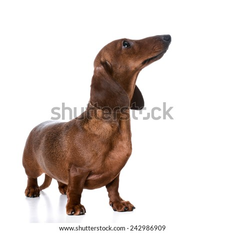 miniature smooth dachshund standing on white background - stock photo