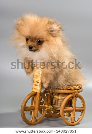 Miniature Spitz with tricycle - stock photo