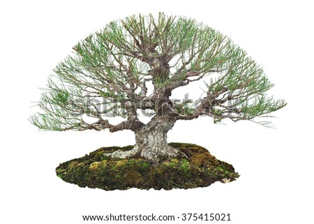 Miniature tree, bonsai, isolated on white background - stock photo