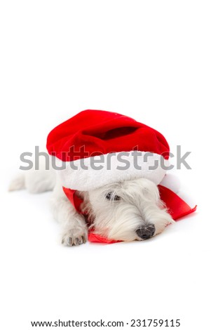 Miniature white schnauzer isolated on white background