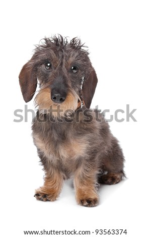 miniature wire-haired dachshund in front of a white background. - stock photo
