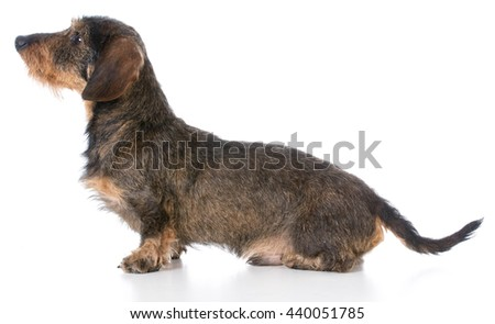miniature wire haired dachshund sitting on white background - stock photo