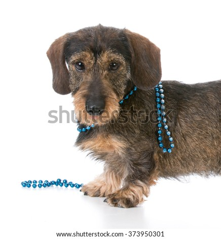 Dog wearing pearls stock photos royalty free images amp vectors