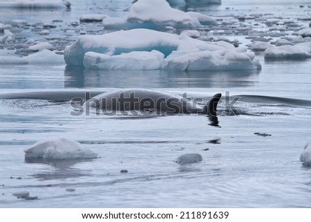 Minke whale floating between small ice floes Antarctic overcast day - stock photo