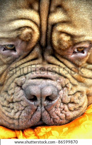 MINSK-SEPTEMBER 24: Dogue de Bordeaux (French mastiff) is tired in international exhibition of dogs and cats PETSHOW 2011 on September 24, 2011 Minsk, Belarus - stock photo