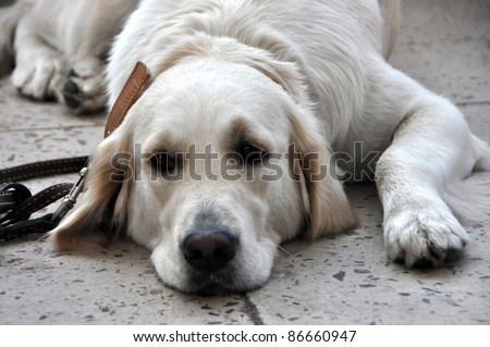MINSK-SEPTEMBER 24:Golden Retriever Sam waits for his proprietor at the 2011 PETSHOW, an international exhibition of dogs and cats on September 24, 2011 Minsk, Belarus - stock photo