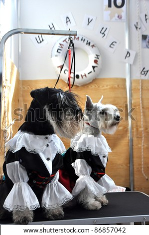 MINSK-SEPTEMBER 24: Schnazers presenting their pirate costumes at the 2011 PETSHOW, an international exhibition of dogs and cats on September 24, 2011 in Minsk, Belarus