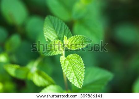 mint bush in the garden - stock photo