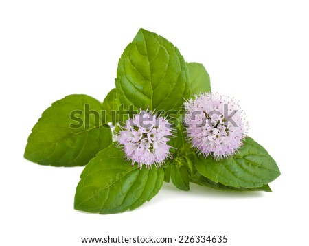 mint flowers isolated on white background - stock photo