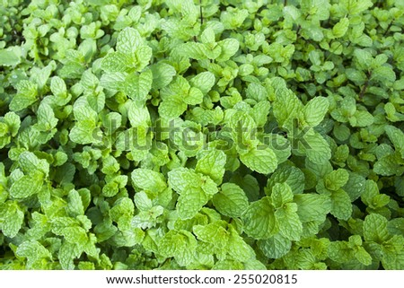 mint, Kitchen Mint, Marsh Mint - stock photo